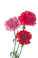 Carnation of Mother's Day Stock photo [1273077] Carnation
