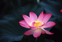 Lotus Stock photo [1273664] Lotus