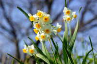 Narcissus Stock photo [1275200] Narcissus