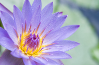 Marked with water lily of morning dew Stock photo [1275318] Flower