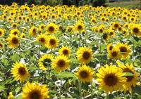 Sunflower gregarious Stock photo [1275799] Sunflower