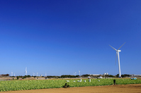 Cabbage fields and windmill Stock photo [1276179] Cabbage