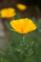 California poppy Stock photo [1712] California