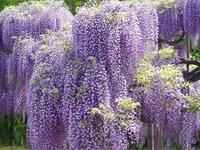 Fuji flowers Stock photo [2165] Fuji