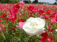Papaver rhoeas Stock photo [2859] Papaver