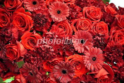 赤黒いガーベラと赤い花たち 写真素材 [ 1361347 ] , フォト