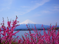 Yamanashi Kawaguchiko peach and Mount Fuji Stock photo [1354599] Flower