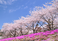Kawaguchiko shores cherry trees Stock photo [1355712] Lake