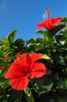 Hibiscus and blue sky Stock photo [1362953] Hibiscus