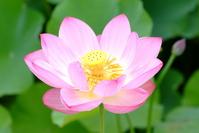 Lotus Flower Stock photo [1363355] Flower