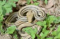 Shimahebi you coiling Stock photo [1365680] Snake