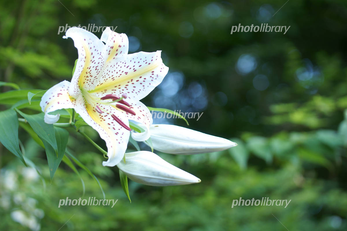 Lily Photo