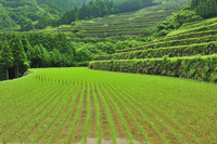 Tanada world agricultural heritage Stock photo [1447513] Rice