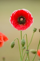 Red poppy Stock photo [1448084] Flower