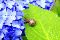 Hydrangea and snail Stock photo [1448453] Flower