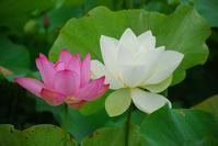 Lotus Stock photo [1449299] Lotus
