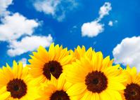 Sunflower field Stock photo [1449627] Sunflower