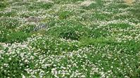Clover flower garden Stock photo [1449953] Shamrock