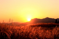 Japanese pampas grass and sunset Stock photo [1452290] Japanese