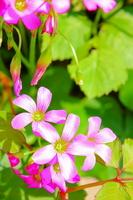 Purple oxalis flowers Stock photo [1452960] Corymbosa