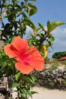 Taketomi Island Hibiscus Stock photo [1455070] Okinawa