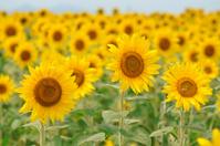 Sunflower field Stock photo [1456410] Sunflower