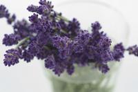 Lavender Stock photo [1456694] Plant