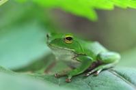 Rhacophorus schlegelii Stock photo [1544445] Frog