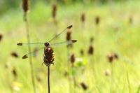 Noshimetonbo Stock photo [1545238] Arthropods