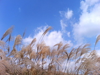 Japanese pampas grass and blue sky Stock photo [1546838] Japanese
