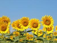 Sunflower field Stock photo [1547125] Sunflower