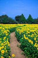 Sunflower field Stock photo [1547707] Sunflower