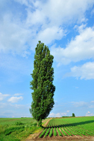 Tree of large poplar Stock photo [1547886] Ohki