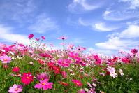 Blue sky in bloom cosmos flowers Stock photo [1551729] Flower