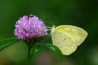 Butterfly, eurema hecabe Stock photo [1552053] Butterfly,