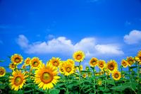 Sunflower field Stock photo [1552836] Sunflower