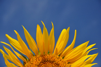 Sunflower and blue sky Stock photo [1553505] Sunflower