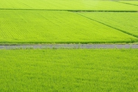 Rice fields of road Stock photo [1553538] Rice