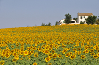 Spain Andalusia of sunflower Stock photo [1553788] Sunflower