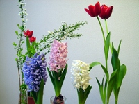 Hyacinth and tulip Stock photo [1554867] Hyacinth