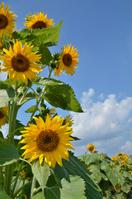 Sunflower field summer of smile Stock photo [1555326] Sunflower