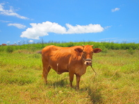 Cattle Stock photo [1556145] Cattle