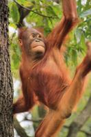 Orangutan baby Stock photo [1651851] Orangutan