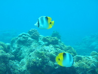 Diving Saipan Kasumi butterflyfish Stock photo [1653369] In