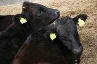 Cattle Stock photo [1655035] Cattle