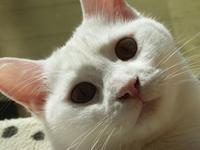 White cat Stock photo [1657413] CAT