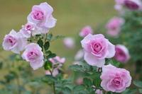 Rose Madamuvu~iore Stock photo [1658247] Rose