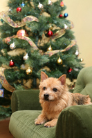 Norwich Terrier Christmas Stock photo [1658396] Dogs