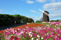 Windmill and Cosmos Stock photo [1658585] Windmill