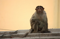 Indian monkey Stock photo [1659662] APE